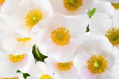 Λουλούδια άνοιξη των sylvestris Anemone (snowdrop anemone) Στοκ φωτογραφία με δικαίωμα ελεύθερης χρήσης