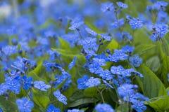 Λουλούδια άνοιξη, primroses και μπλε πέταλα, ξέφωτο Στοκ Εικόνα