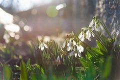 Λουλούδια άνοιξη Snowdrop στην ηλιοφάνεια στοκ φωτογραφία με δικαίωμα ελεύθερης χρήσης