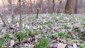 Λουλούδια άνοιξη Snowdrop στο δάσος στοκ φωτογραφίες με δικαίωμα ελεύθερης χρήσης