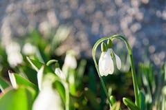 Λουλούδια άνοιξη Snowdrop στοκ φωτογραφίες με δικαίωμα ελεύθερης χρήσης