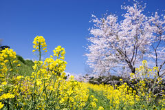 Λουλούδια λάχανων Στοκ Φωτογραφία
