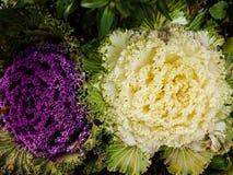 Λουλούδια λάχανων Στοκ φωτογραφίες με δικαίωμα ελεύθερης χρήσης