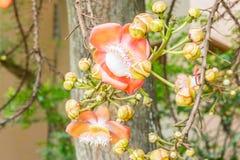 Λουλούδια άλατος (Cannonball λουλούδια) Στοκ εικόνα με δικαίωμα ελεύθερης χρήσης