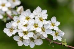Λουλούδια δέντρων δαμάσκηνων Στοκ Φωτογραφίες