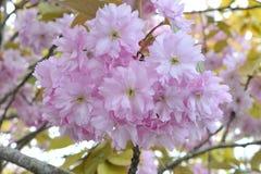 Λουλούδια δέντρων ανθών κερασιών Στοκ φωτογραφία με δικαίωμα ελεύθερης χρήσης