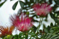 Λουλούδια δέντρων βροχής Στοκ εικόνα με δικαίωμα ελεύθερης χρήσης