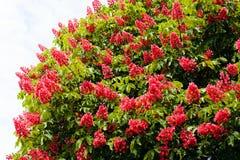 Λουλούδια δέντρων κάστανων Στοκ Εικόνες