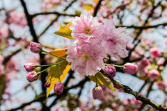 Λουλούδια δέντρων κερασιών Στοκ Εικόνες