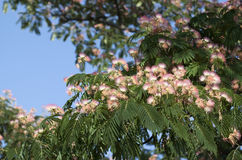 Λουλούδια δέντρων μεταξιού Στοκ Εικόνες
