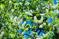 Λουλούδια δέντρων πουλί-κερασιών Στοκ Φωτογραφίες