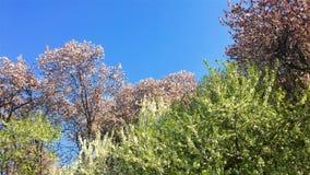 Λουλούδια δέντρων που ανθίζουν την άνοιξη απόθεμα βίντεο