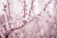 Λουλούδια δέντρων ροδακινιών Στοκ Εικόνα