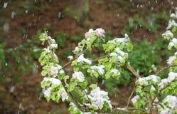 Λουλούδια δέντρων της Apple άνοιξη χιονοπτώσεων στο χιόνι Στοκ φωτογραφία με δικαίωμα ελεύθερης χρήσης