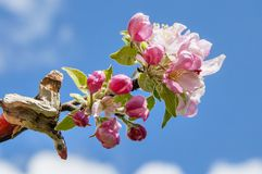 Λουλούδια δέντρων της Apple ενάντια στο μπλε ουρανό Στοκ Εικόνα