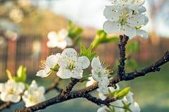 Λουλούδια δέντρων της Apple με τον παγετό πρωινού Στοκ φωτογραφία με δικαίωμα ελεύθερης χρήσης
