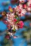 Λουλούδια δέντρων της Apple στην άνθιση Στοκ φωτογραφία με δικαίωμα ελεύθερης χρήσης