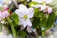Λουλούδια δέντρων της Apple στον κλάδο Στοκ Εικόνες