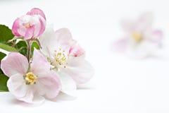 Λουλούδια δέντρων της Apple στο λευκό Στοκ Φωτογραφίες