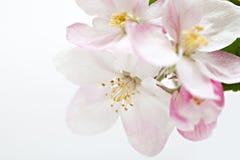 Λουλούδια δέντρων της Apple στο λευκό Στοκ Εικόνα