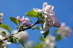 Λουλούδια δέντρων της Apple στο κλίμα μπλε ουρανού Στοκ Εικόνες