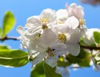 Λουλούδια δέντρων της Apple στο κλίμα μπλε ουρανού Στοκ εικόνα με δικαίωμα ελεύθερης χρήσης
