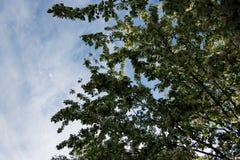 Λουλούδια δέντρων της Apple το σπόρος-φέρον μέρος εγκαταστάσεων, που αποτελούνται από τα αναπαραγωγικά όργανα stamens και carpels Στοκ εικόνες με δικαίωμα ελεύθερης χρήσης