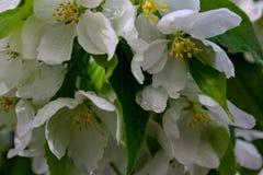 Λουλούδια δέντρων της Apple το σπόρος-φέρον μέρος εγκαταστάσεων, που αποτελούνται από τα αναπαραγωγικά όργανα stamens και carpels Στοκ Εικόνες