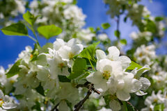 Λουλούδια δέντρων της Apple το σπόρος-φέρον μέρος εγκαταστάσεων, που αποτελούνται από τα αναπαραγωγικά όργανα stamens και carpels Στοκ φωτογραφίες με δικαίωμα ελεύθερης χρήσης