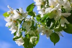 Λουλούδια δέντρων της Apple το σπόρος-φέρον μέρος εγκαταστάσεων, που αποτελούνται από τα αναπαραγωγικά όργανα stamens και carpels Στοκ Φωτογραφίες