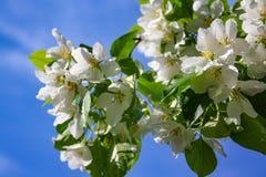 Λουλούδια δέντρων της Apple το σπόρος-φέρον μέρος εγκαταστάσεων, που αποτελούνται από τα αναπαραγωγικά όργανα stamens και carpels Στοκ φωτογραφία με δικαίωμα ελεύθερης χρήσης