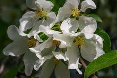 Λουλούδια δέντρων της Apple το σπόρος-φέρον μέρος εγκαταστάσεων, που αποτελούνται από τα αναπαραγωγικά όργανα stamens και carpels Στοκ Εικόνα