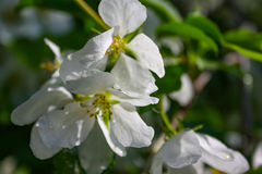 Λουλούδια δέντρων της Apple το σπόρος-φέρον μέρος εγκαταστάσεων, που αποτελούνται από τα αναπαραγωγικά όργανα stamens και carpels Στοκ Φωτογραφία