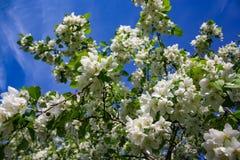 Λουλούδια δέντρων της Apple το σπόρος-φέρον μέρος εγκαταστάσεων, που αποτελούνται από τα αναπαραγωγικά όργανα stamens και carpels Στοκ εικόνα με δικαίωμα ελεύθερης χρήσης