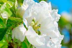 Λουλούδια δέντρων της Apple Το σπόρος-φέρον μέρος εγκαταστάσεων Στοκ Φωτογραφίες