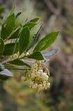 Λουλούδια δέντρων φραουλών unedo Arbutus Στοκ φωτογραφία με δικαίωμα ελεύθερης χρήσης
