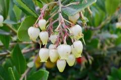 Λουλούδια δέντρων φραουλών unedo Arbutus Στοκ Φωτογραφίες