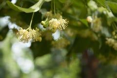 Λουλούδια δέντρων Linden Στοκ φωτογραφία με δικαίωμα ελεύθερης χρήσης