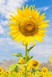 Λουλούδια ήλιων με το φωτεινό ουρανό Στοκ εικόνες με δικαίωμα ελεύθερης χρήσης