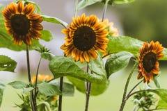 Λουλούδια ήλιων στον κήπο αυξημένος midwest στοκ εικόνα