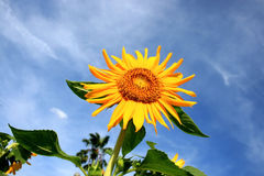 Λουλούδια ήλιων Στοκ Φωτογραφίες