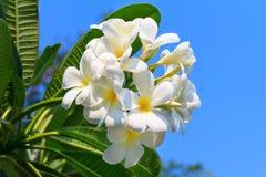 Λουλούδια ή Frangipani Plumeria Στοκ Εικόνα
