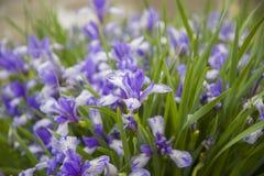 Λουλούδια - ίριδες Στοκ εικόνες με δικαίωμα ελεύθερης χρήσης