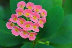Λουλούδια αγκαθιών κορωνών Στοκ Εικόνες