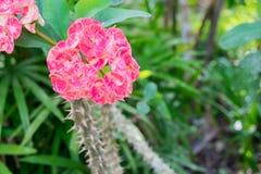 Λουλούδια αγκαθιών Χριστού Στοκ Φωτογραφίες