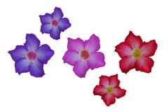 Λουλούδια αζαλεών που απομονώνονται Στοκ Εικόνες