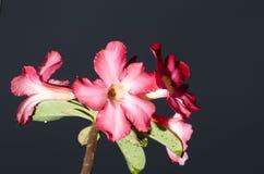 Λουλούδια αζαλεών Στοκ Εικόνα