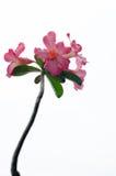 Λουλούδια αζαλεών στοκ φωτογραφία