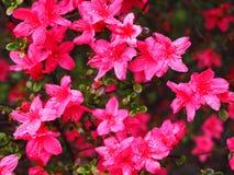 Λουλούδια αζαλεών (Rhododendron pentanthera) την πρώιμη άνοιξη με το μ Στοκ φωτογραφία με δικαίωμα ελεύθερης χρήσης