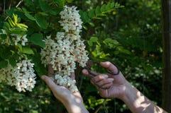 Λουλούδια ακακιών περικοπών χεριών με το σκουριασμένο ψαλίδι Στοκ φωτογραφία με δικαίωμα ελεύθερης χρήσης